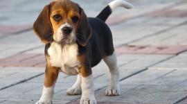 Beagle Wallpaper For PC
