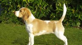 Beagle Wallpaper Free