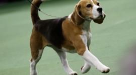 Beagle Wallpaper HQ
