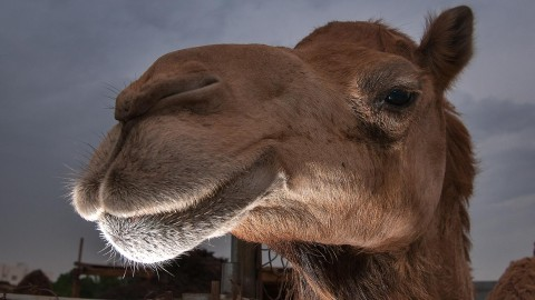 Camel wallpapers high quality