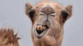 Camel Desktop Wallpaper Free
