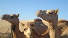 Camel High Quality Wallpaper