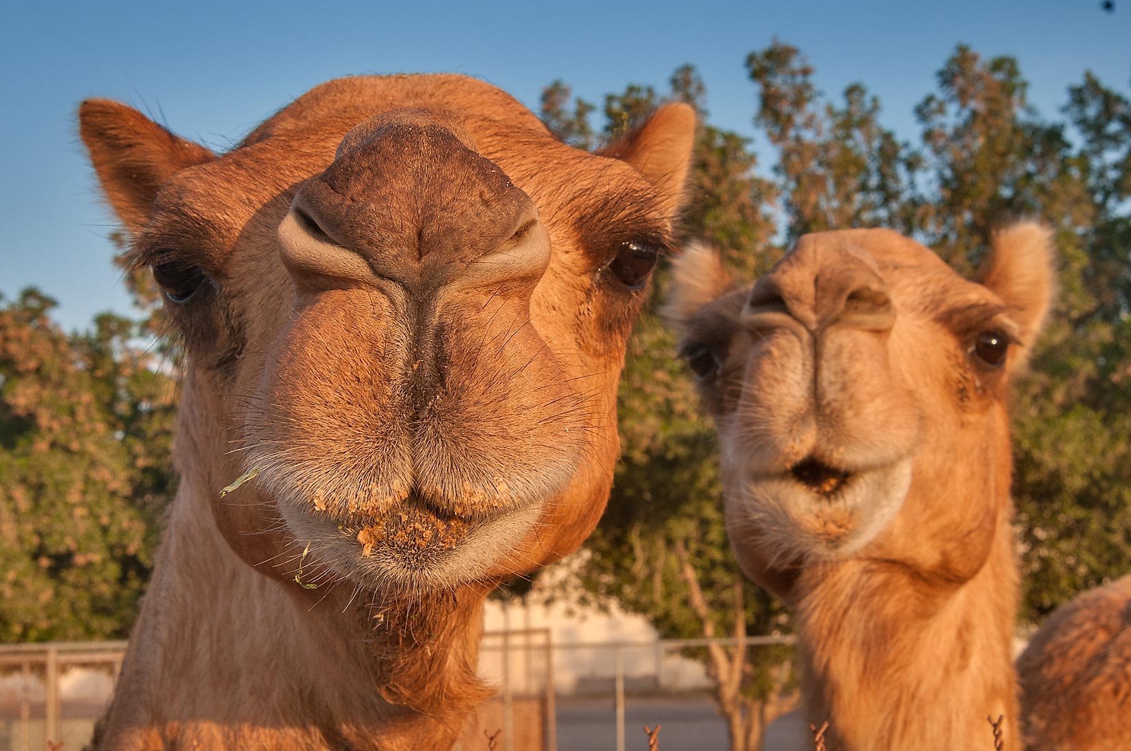 Image Result For Camel Wallpapers Pictures Images