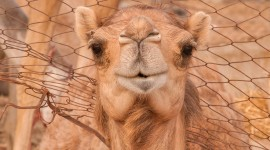 Camel Wallpaper Download