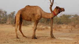 Camel Wallpaper For PC