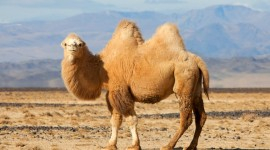 Camel Wallpaper Free