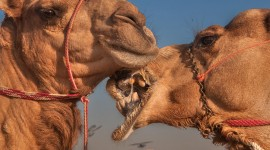 Camel Wallpaper High Definition