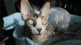 Cat Sphynx Desktop Wallpaper