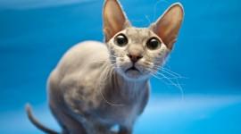 Cat Sphynx Desktop Wallpaper HD