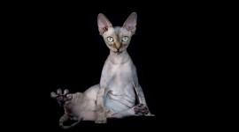 Cat Sphynx Wallpaper Background