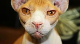Cat Sphynx Wallpaper Download