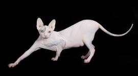Cat Sphynx Wallpaper For Desktop