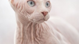 Cat Sphynx Wallpaper For IPhone