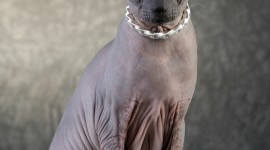 Cat Sphynx Wallpaper For IPhone Free