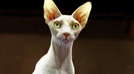Cat Sphynx Wallpaper For PC