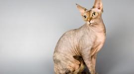 Cat Sphynx Wallpaper HQ
