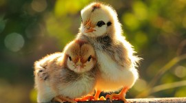 Chickens Wallpaper Gallery