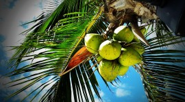 Coconuts Wallpaper Download Free