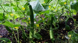 Cucumbers Photo Download