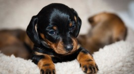 Dachshund Photo Download