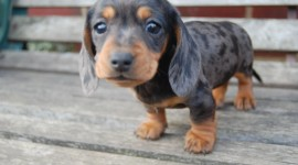 Dachshund Photo#2