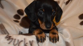Dachshund Photo#3