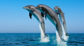 Dolphins Photo Download