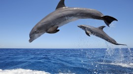 Dolphins Wallpaper For PC