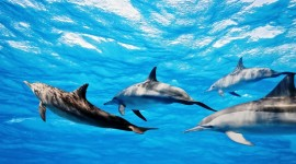 Dolphins Wallpaper High Definition