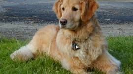 Golden Retriever Photo Free