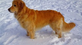 Golden Retriever Photo Free#1