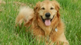 Golden Retriever Photo Free#2
