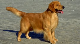 Golden Retriever Photo Free#3