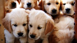 Golden Retriever Pics