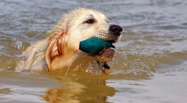 Golden Retriever Wallpaper Gallery