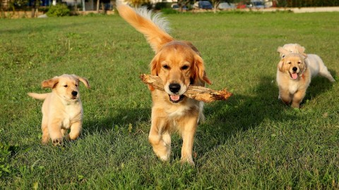 Golden Retriever wallpapers high quality