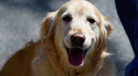 Golden Retriever Wallpaper HQ#3