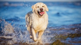 Golden Retriever Wallpaper#2