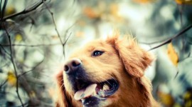 Golden Retriever Wallpaper#3