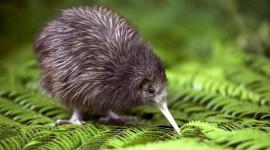 Kiwi Bird Desktop Wallpaper HD