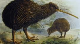 Kiwi Bird Image