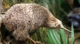 Kiwi Bird Photo Free