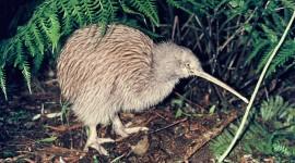 Kiwi Bird Wallpaper 1080p