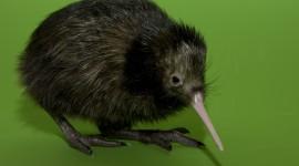 Kiwi Bird Wallpaper Download Free