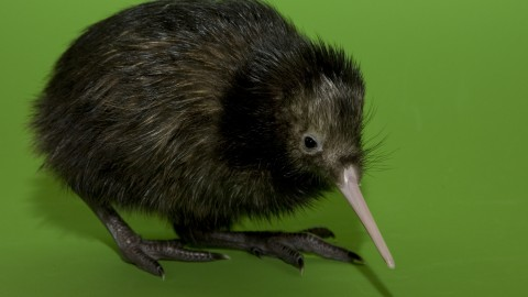 Kiwi Bird wallpapers high quality