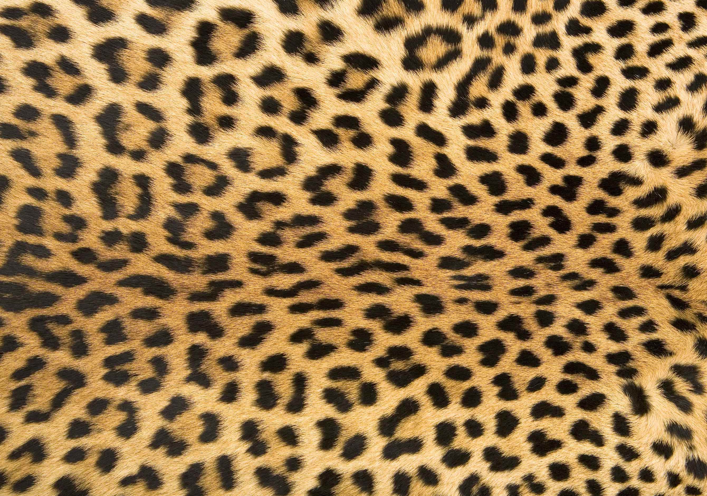 Leopard Print Wallpapers High Quality Download Free