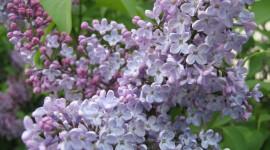 Lilac Best Wallpaper