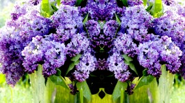 Lilac High Quality Wallpaper