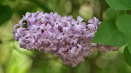 Lilac Wallpaper Download