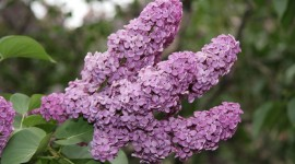 Lilac Wallpaper Download Free